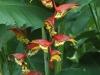 Costa Rica, Blumen6.jpg